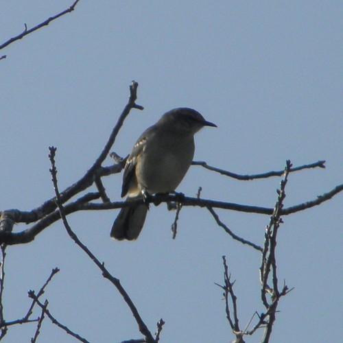 mockingbird in shadow
