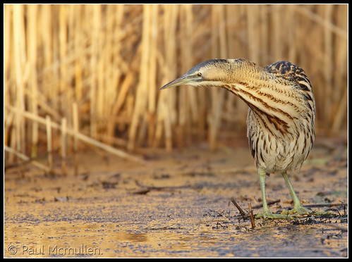 another bittern........