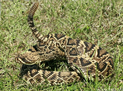 The Herping Michigan Blog: Rattlesnakes of the Eastern