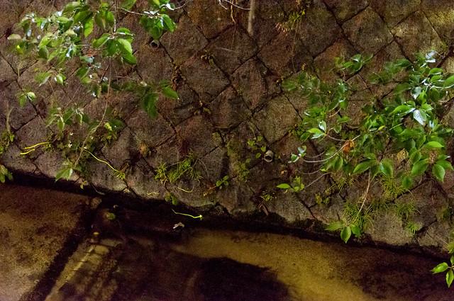 白川疏水 蛍