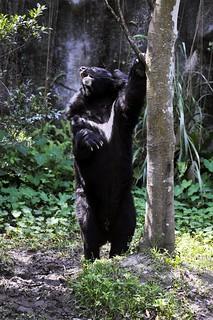 台灣黑熊胸口的V,深具特色與魅力,是台灣森林最具代表性的物種。(攝影:薛繼光)