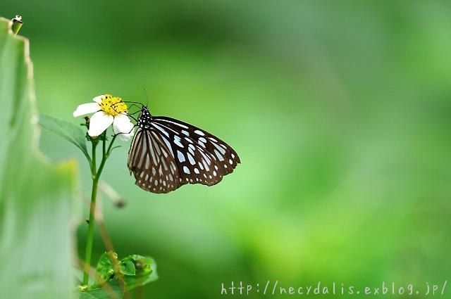 リュウキュウアサギマダラ [Ideopsis similis]...