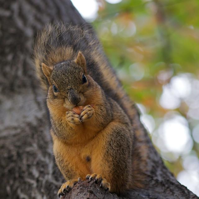 Festivus Nut