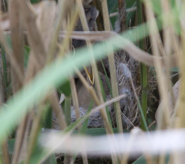 reed warbler nest 2