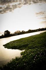 Jardim de Aguapé (Eichhornia crassipes)