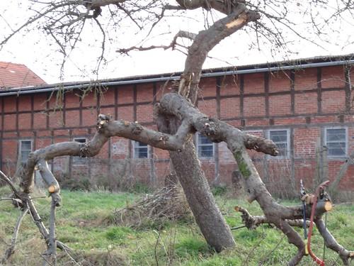 Windbruch Apfelbaum
