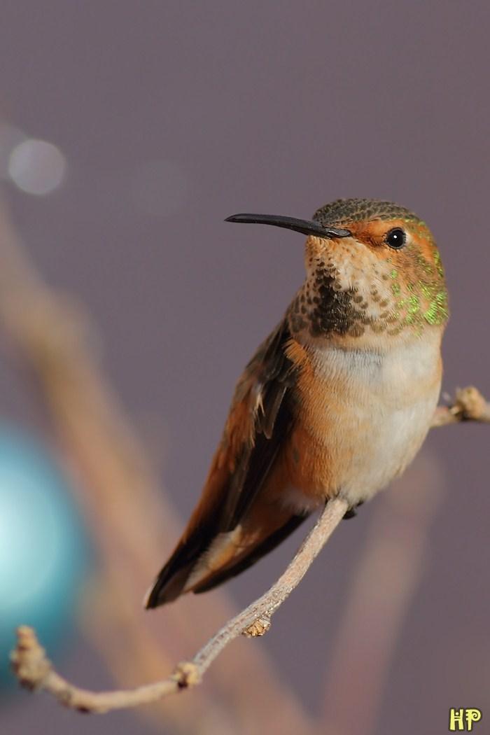Allen's Hummingbird 122811