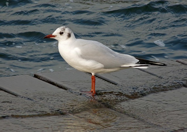25448 - Black Headed Gull, Cosmeston