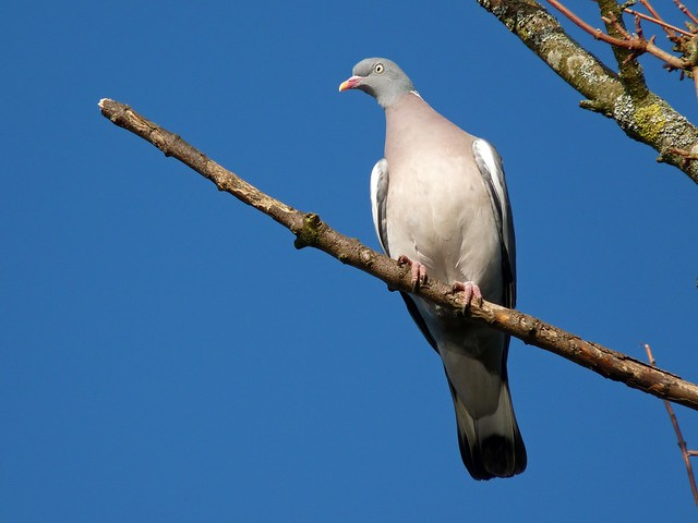 25461 - Wood Pigeon, Slimbridge