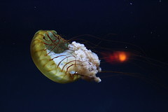 animal, jellyfish, organism, marine biology, invertebrate, macro photography, marine invertebrates, zooplankton,
