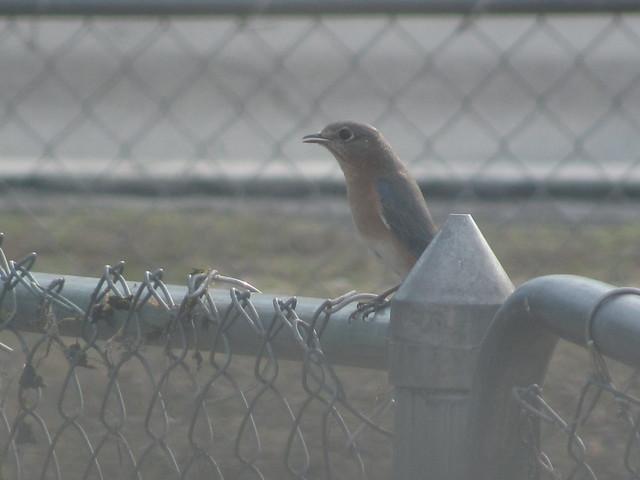 Female bluebird close