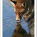 Thirsty fox by annelies_43 On & Off