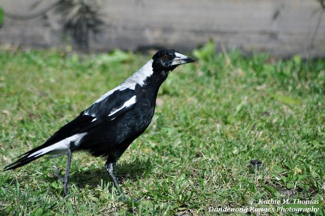 Magpie walking across the garden