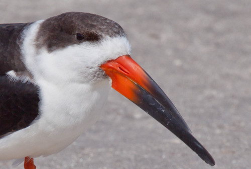 Black Skimmer detail