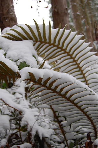 snow ferns