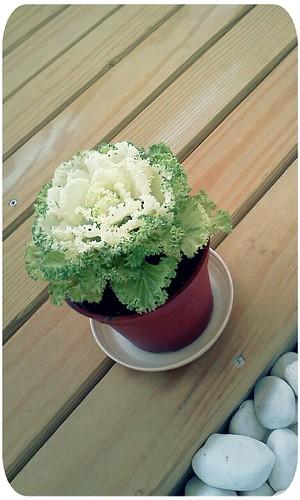 葉牡丹 ::: ornamental cabbage by 南南風_e l a i n e