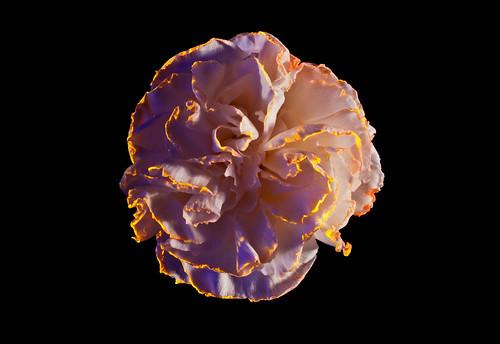 The Carnation Galaxy