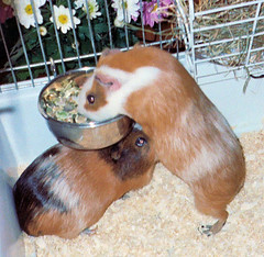 animal, guinea pig, rodent, pet, hamster,