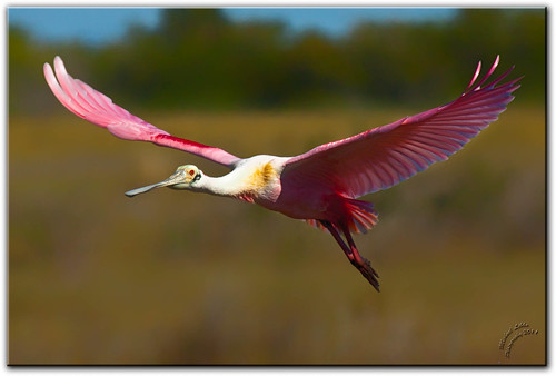 Roseate Spoonbill [Explored]