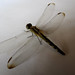 Small photo of odonata