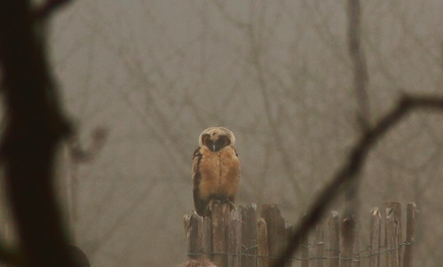 Owl perched in the foggy Park