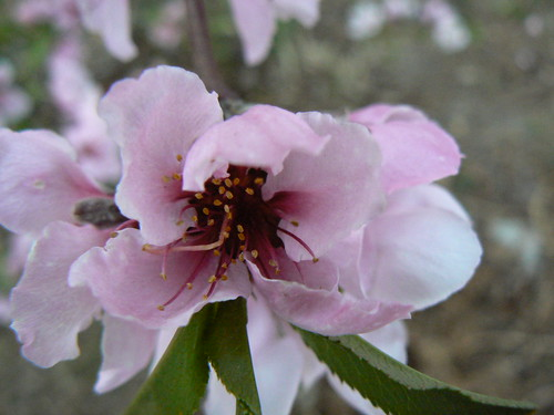 Peach blossom up close