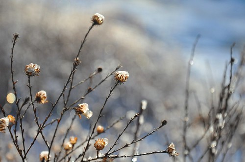 flowers blue winter light white snow cold ice sunshine season frozen bright bokeh january sparkle stems iced dried icy aster forizamyinspiration thankyouillinoissky