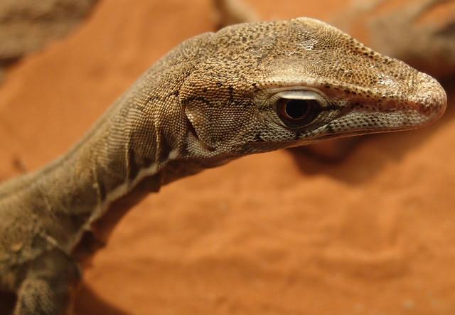 Lizard - Crocosaurus Cove Darwin