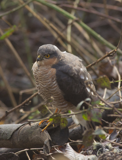 sparrowhawk after eating