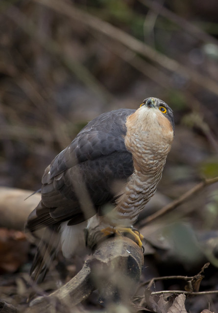 male sparrowhawk look up