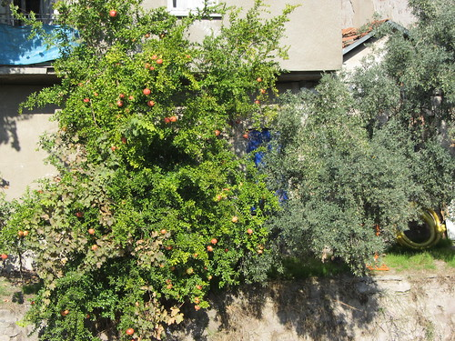 Balikesir: pomegranate and olive tree