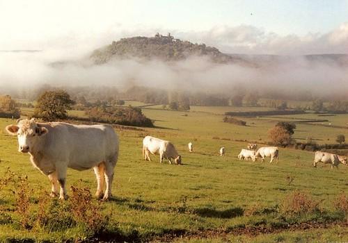 Les autres vaches pas à moi à Vézelay