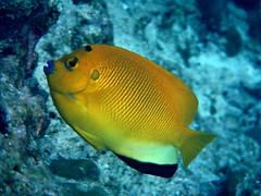 Threespot Angelfish - Apolemichthys trimaculatus
