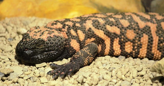 Gila monster IMG_8468