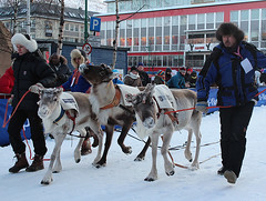 Reindeer being led to the starting gate