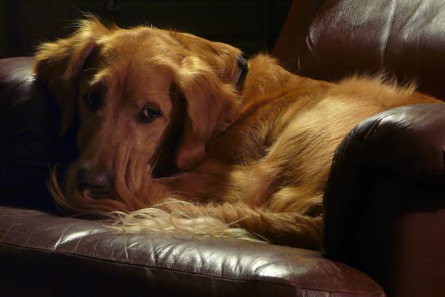 Red Leather Dog Collar Amazon