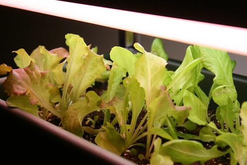 baby salad 005