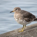 Surfbird (West Seattle) by ingridtaylar