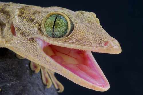 macro green eye animal closeup fauna mouth indonesia asian thailand amazing eyes nikon asia southeastasia open nocturnal reptile wildlife biting lizard vietnam bite gecko openmouth predator laos lizards reptiles gekko agressive reptilian gekkosmithi reptiles4all