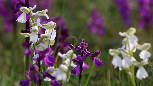 Green Winged Orchid, Orchis morio and Orchis morio ver. alba