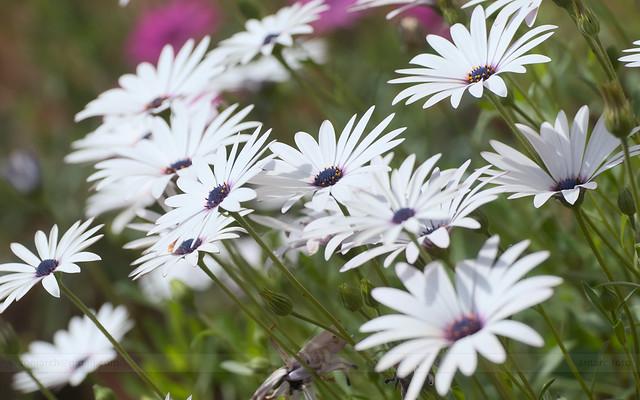 Amusing spring . Dimorphotheca pluvialis _5378