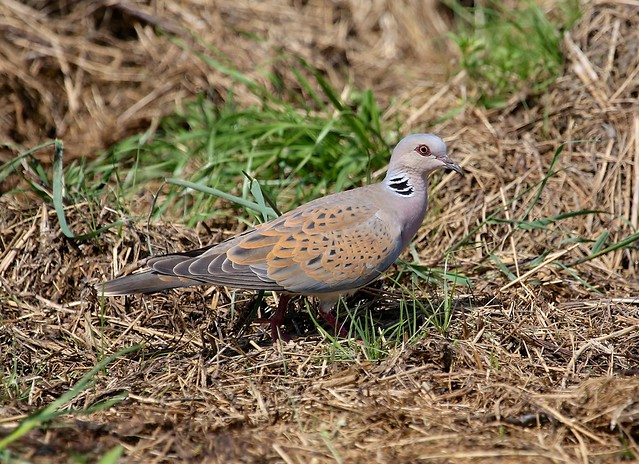 European Turtle-dove------- Streptopelia turtur