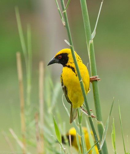 Southern Masked Weaver
