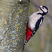 Great Spotted Woodpecker by Richo14