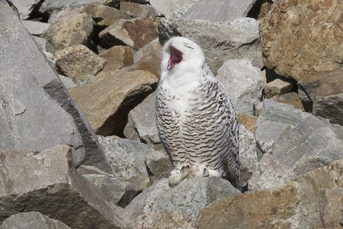 Snowy Owl  11/25/11 by Peter  Schoenberger