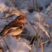 Snjótittlingur (Plectrophenax nivalis) - Snow Bunting