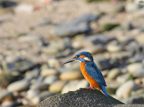Guarda-rios (Alcedo atthis)