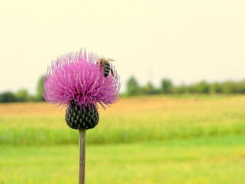 [フリー画像素材] 花・植物, アザミ, 蜂・ハチ, ミツバチ ID:201112040600