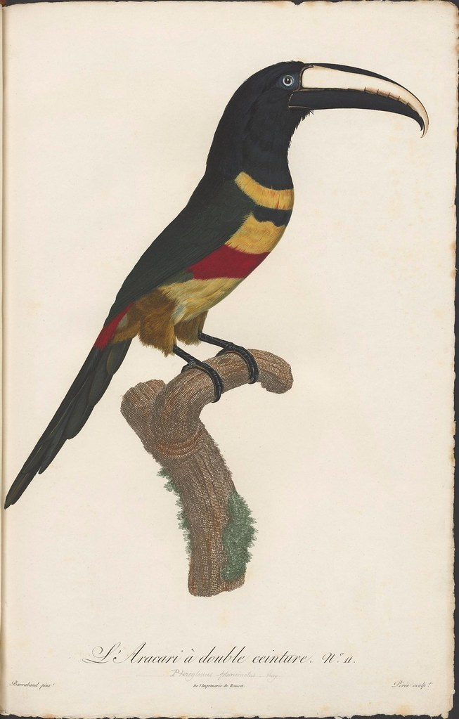 colourful engraving of toucan