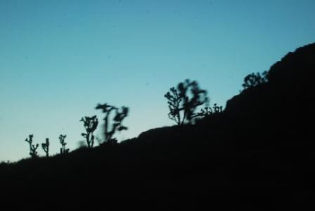 Joshua trees in shadow